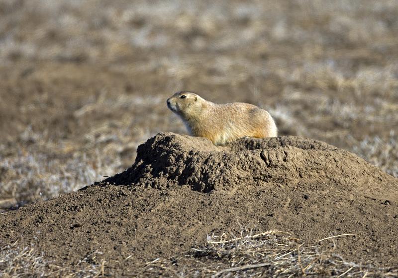 how to litter box train a prairie dog