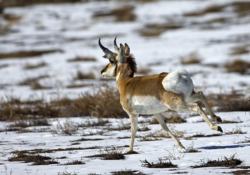 Antelope Running - FM Forums