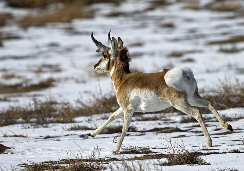 Antelope Running - FM Forums