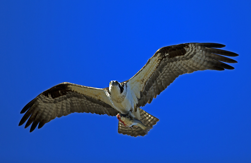 Osprey with a fish fm forums for The fish fm